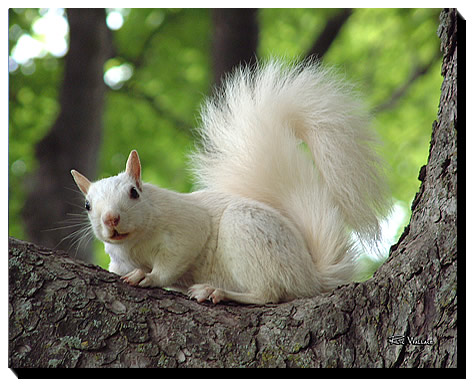 Lucky-White-Squirrel-01t-16-20