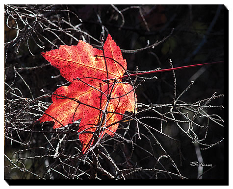 Maple-Leaf-16-20